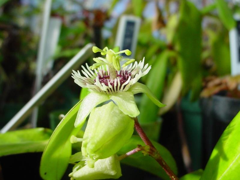 Passiflora coriacea Passif27
