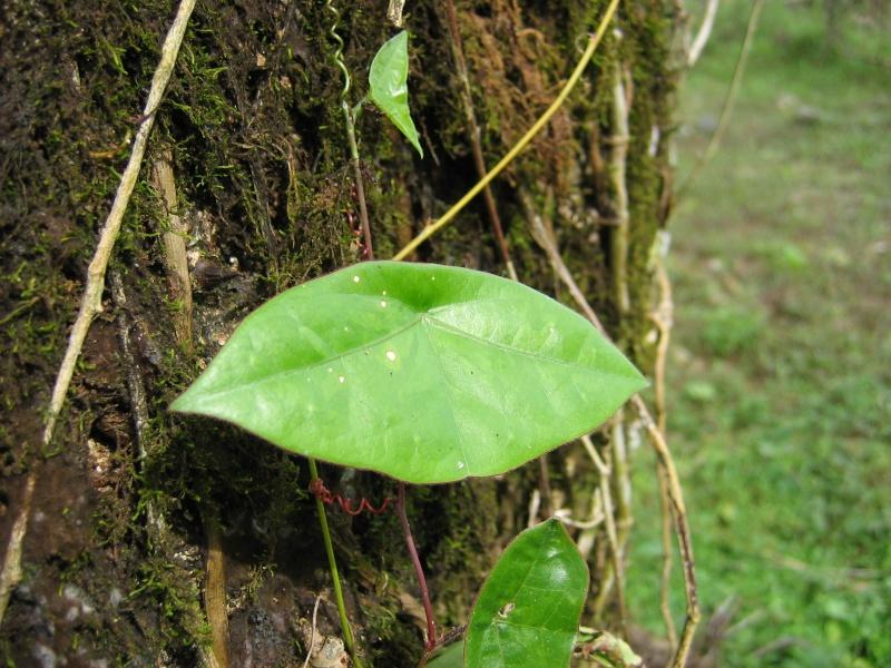 Passiflora coriacea Passif28