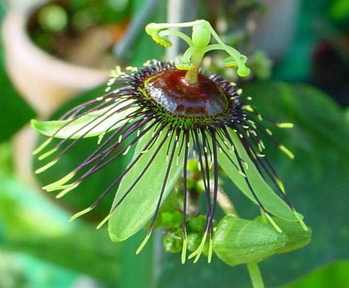Passiflora coriacea Passif29