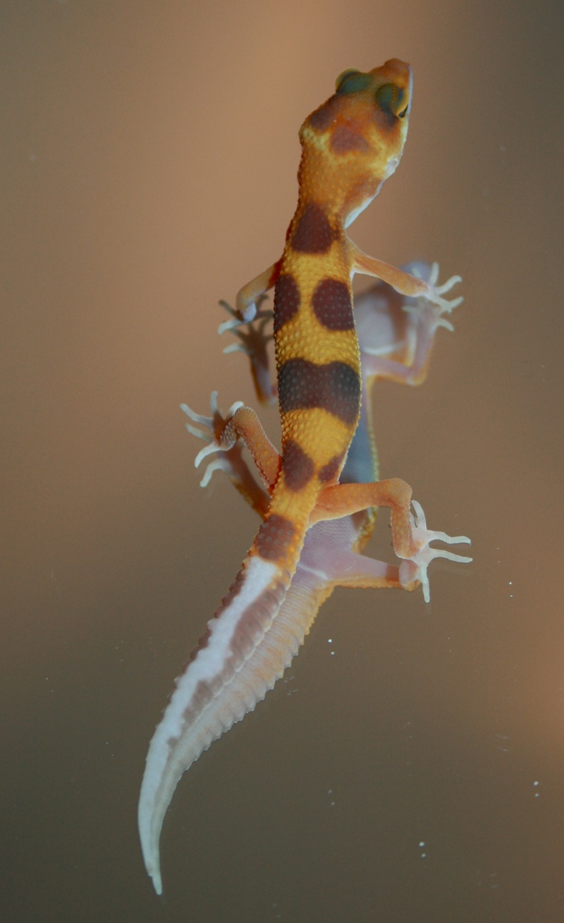 Leopardgeckos Nachzuchten 2010 abzugeben, 25335 Elmshorn Img_9411