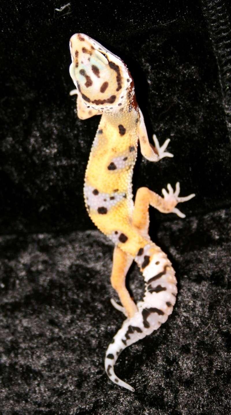 Leopardgeckos Nachzuchten 2010 abzugeben, 25335 Elmshorn Img_9510