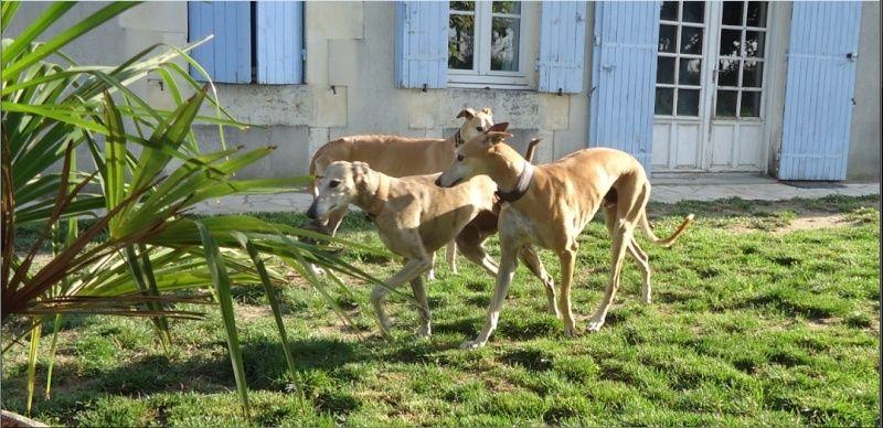 "Campeon galgo bringé clair à l'adoption ""Scooby France"" Adopté - Page 4 Campeo13"