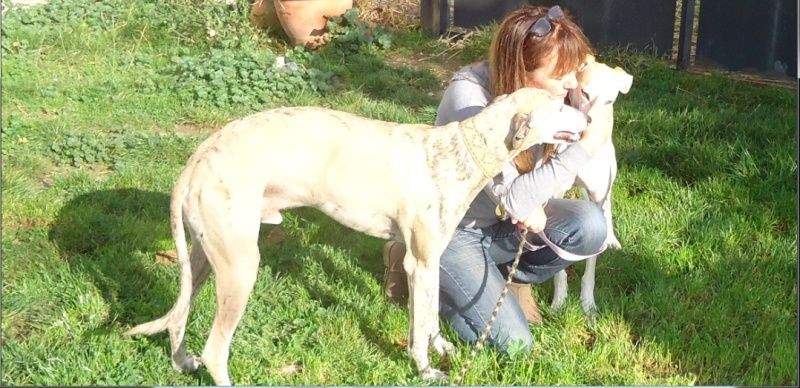 "Campeon galgo bringé clair à l'adoption ""Scooby France"" Adopté - Page 5 Campeo20"