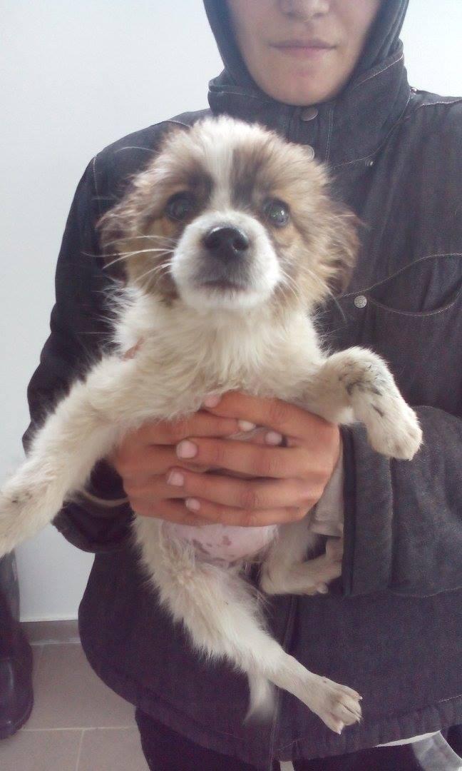 MUSTELA, chiot femelle petite taille née env juillet 2015 - en pension chez Lucian 10256710