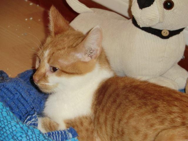 CHAUSSETTE (ex. NUFAR), chaton de 7 mois tapé par une voiture trouvé dans la rue (Pascani) - adopté par Déborah (39) - décédé 12166710