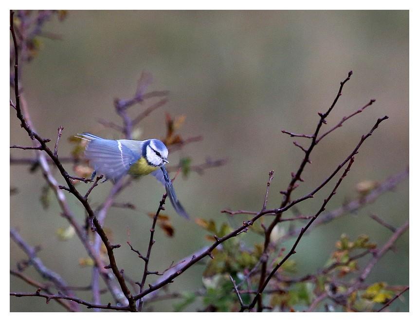 Bleue Blue0111