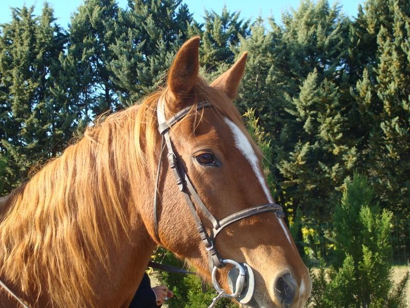 Vends adorable beau Trotteur hongre 12 ans Alezan Dsc03017