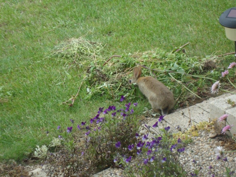 UN RAVAGEUR sévit dans mon jardin 2011-035