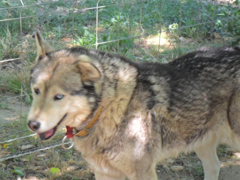 LUCKY Husky 16 ans et demi ASSO65  DECEDE - Page 2 Lucky_10