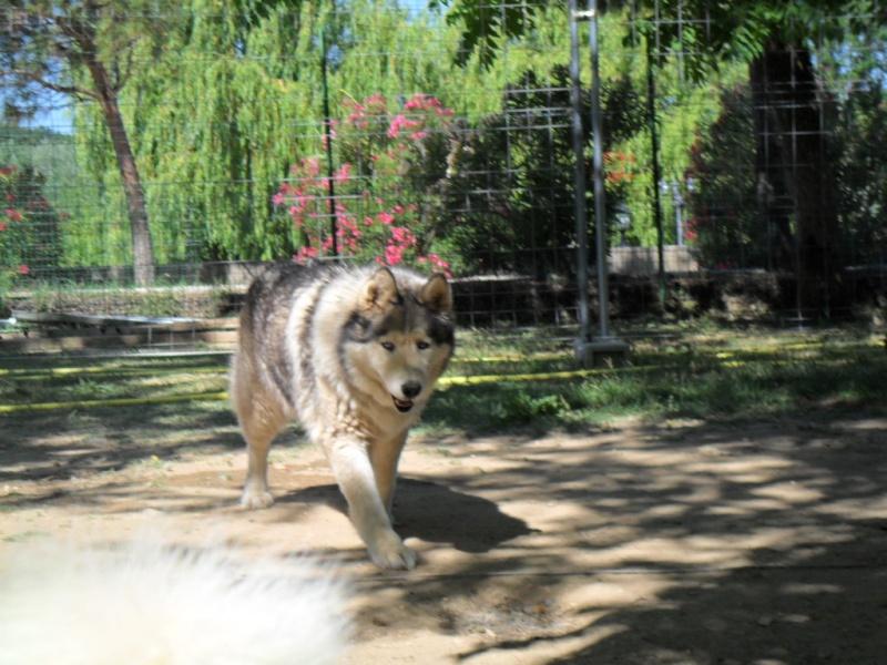 OUKIOK Superbe! malamute x husky (m) 13ans asso Eden Valley (26)DECEDE Oukiok11