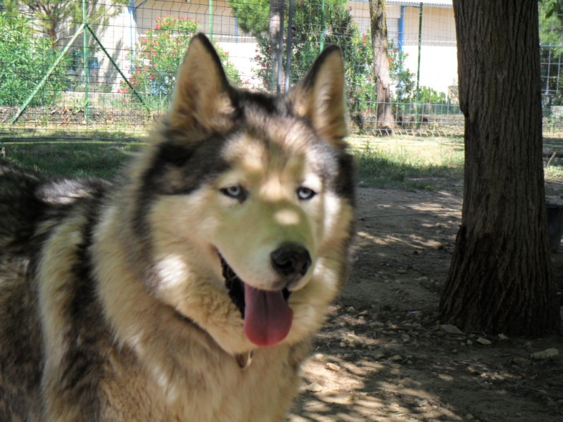 OUKIOK Superbe! malamute x husky (m) 13ans asso Eden Valley (26)DECEDE Oukiok12