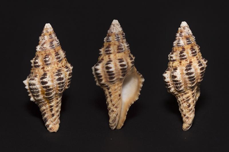Latirus polygonus (Gmelin 1791) 7434_n12