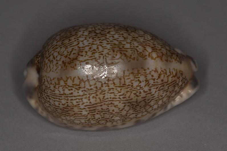 Mauritia eglantina (Duclos, 1833) Img_6316