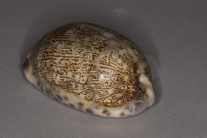 Mauritia eglantina (Duclos, 1833) Img_6317