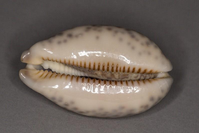 Mauritia eglantina (Duclos, 1833) Img_6318