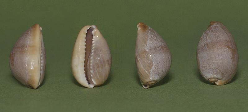 Monetaria caputserpentis - (Linnaeus, 1758) - Juvénile  Img_7210
