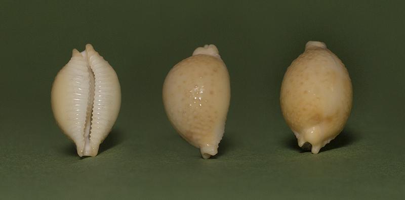 Pustularia cicercula cicercula - (Linnaeus, 1758) - Page 2 Img_7211