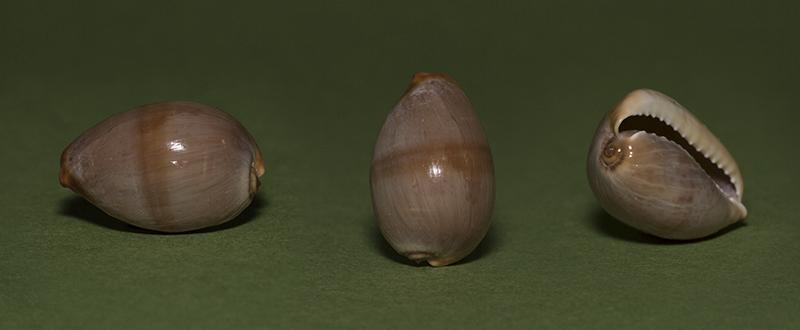 Monetaria caputserpentis - (Linnaeus, 1758) - Juvénile  Img_7212