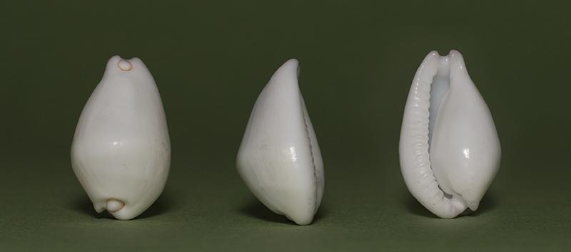 Calpurnus verrucosus - (Linnaeus, 1758) Img_7213