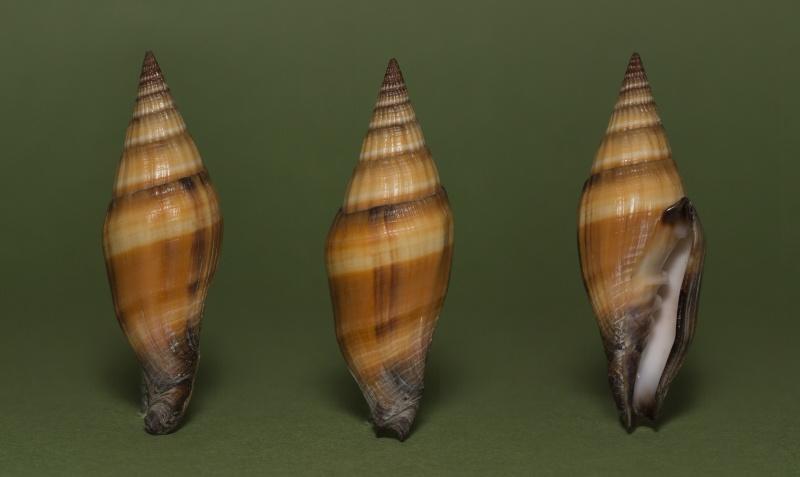 Vexillum vulpecula - (Linnaeus, 1758) - Page 3 Img_7311
