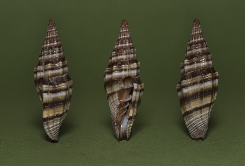 Vexillum intermedium - (Kiener, 1838) Img_7312