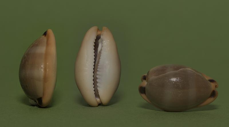Encore une porcelaine = Luria lurida Img_7412