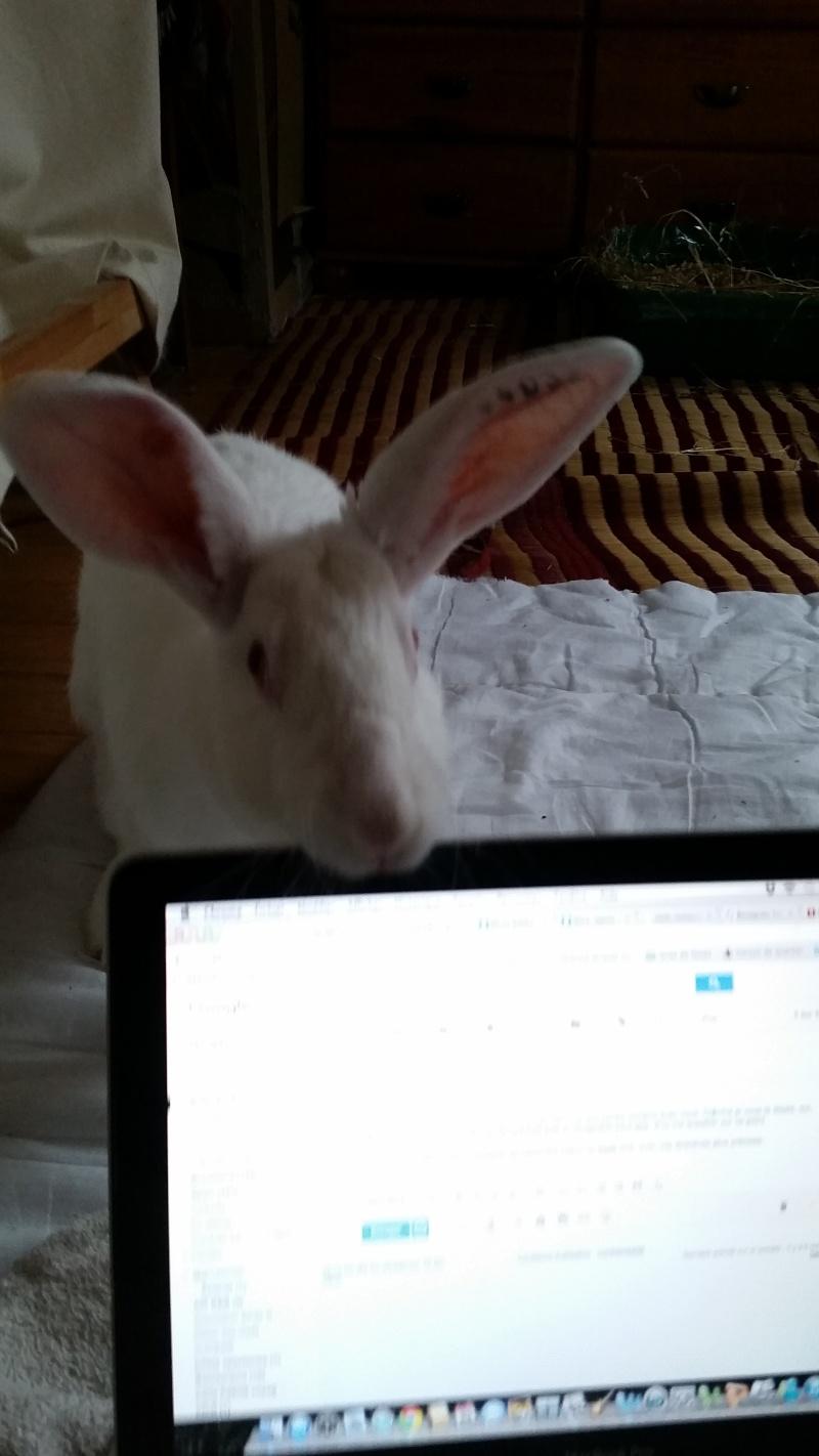 Association White Rabbit- Réhabilitation des lapins de laboratoire - Page 2 Alice210