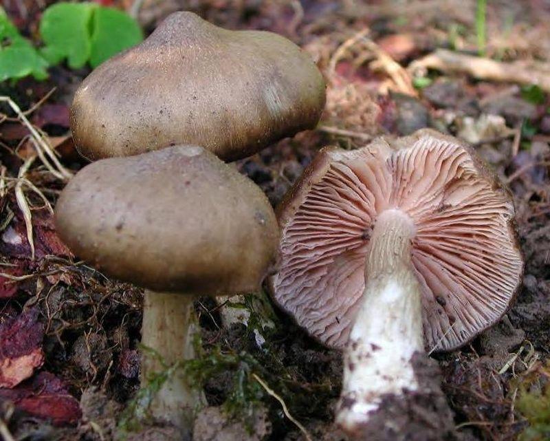 les champignons par ordre alphabétique. Champ_10