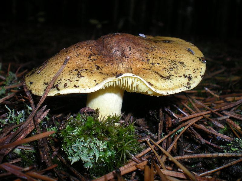 les champignons par ordre alphabétique. Champ_11