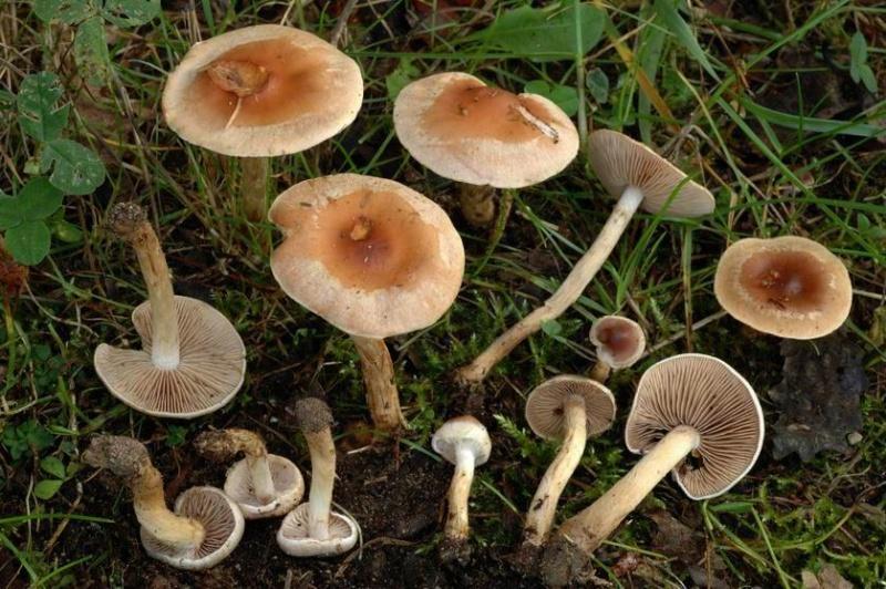 les champignons par ordre alphabétique. - Page 3 Hebelo10