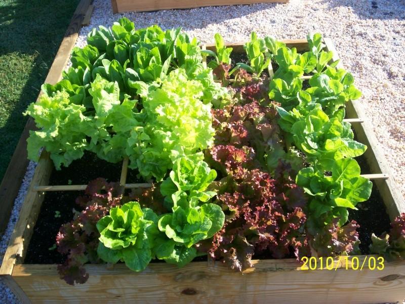 Types of lettuce... 100_2110