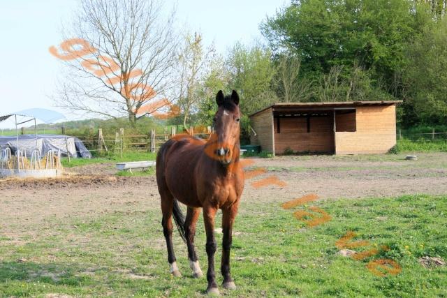 ALCAZAR 23 ans cheval de selle - placé hors association Alca10