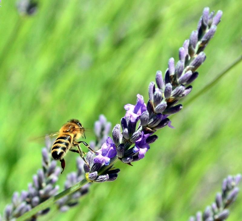 La lavande & les abeilles 1_210