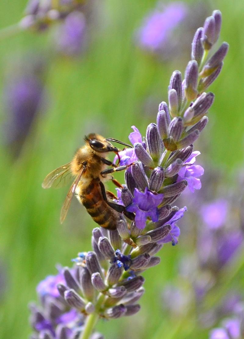 La lavande & les abeilles 3_210
