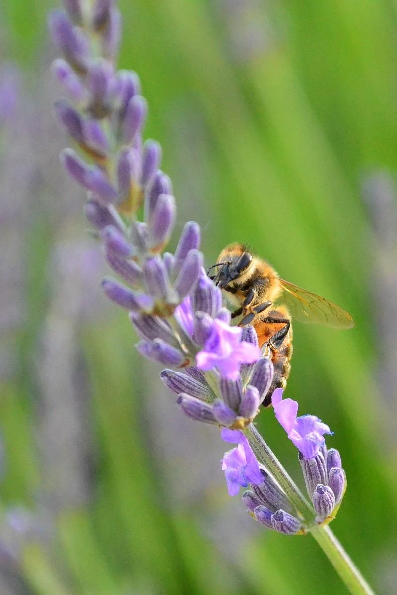 La lavande & les abeilles 517