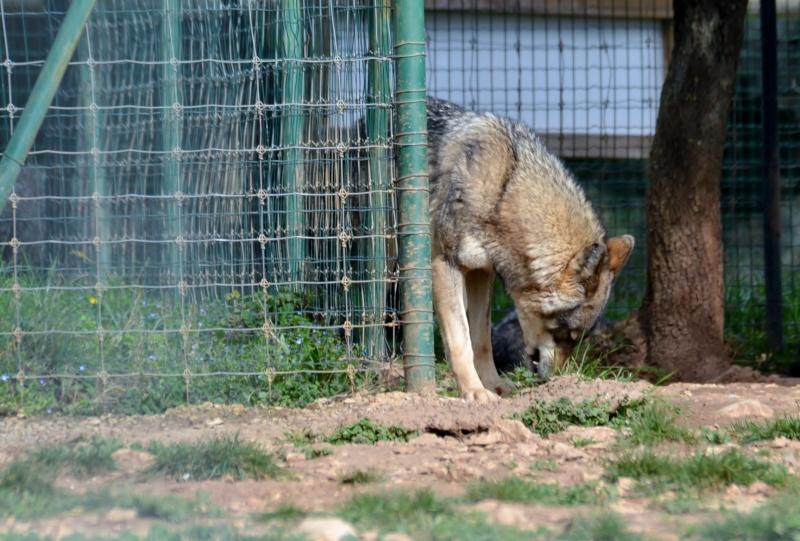 Un loup Dsc_0010