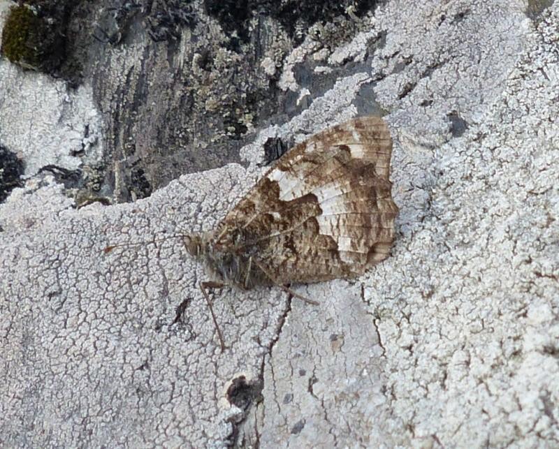 L'Agreste (Hipparchia semele) P1080312