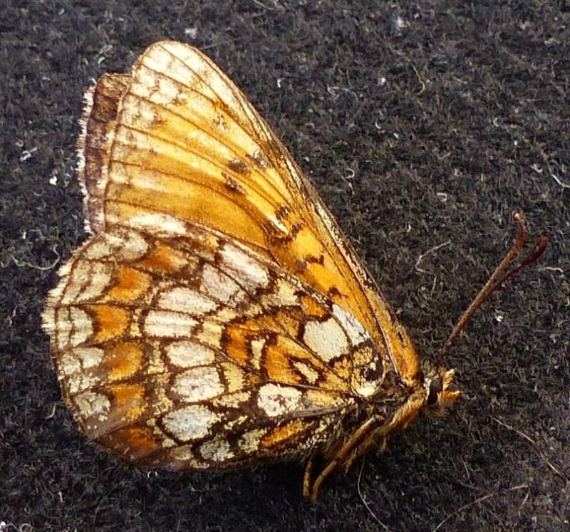 Melitaea  parthenoides P1080319