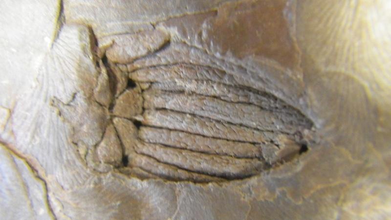 Trigonocarpus  Pachytesta  Hexagonocarpus  Imgp8217