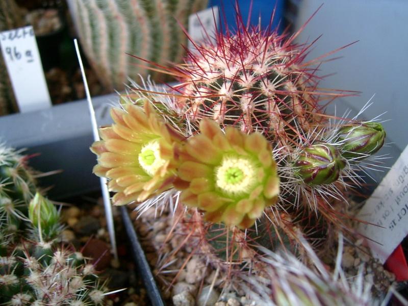 Achim`s Blütenbalkon - Seite 2 Pic_0075