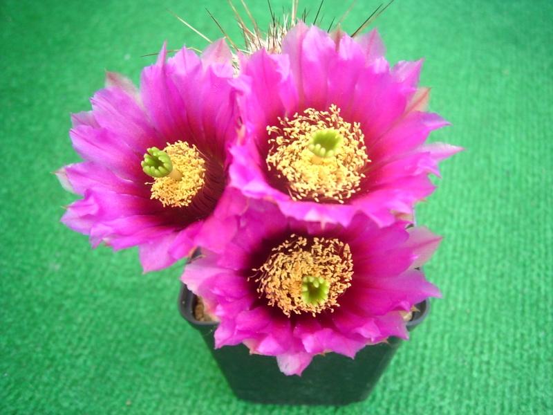 Achim`s Blütenbalkon - Seite 4 Pic_0099