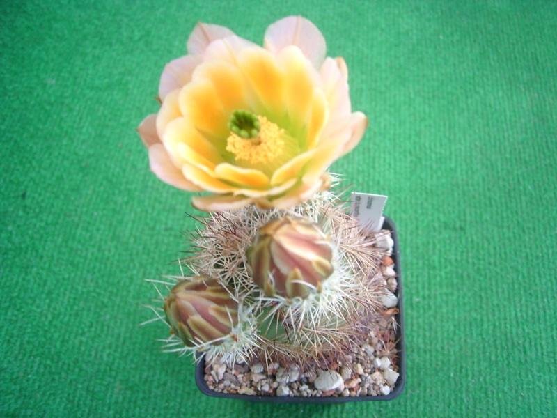 Achim`s Blütenbalkon - Seite 4 Pic_0100