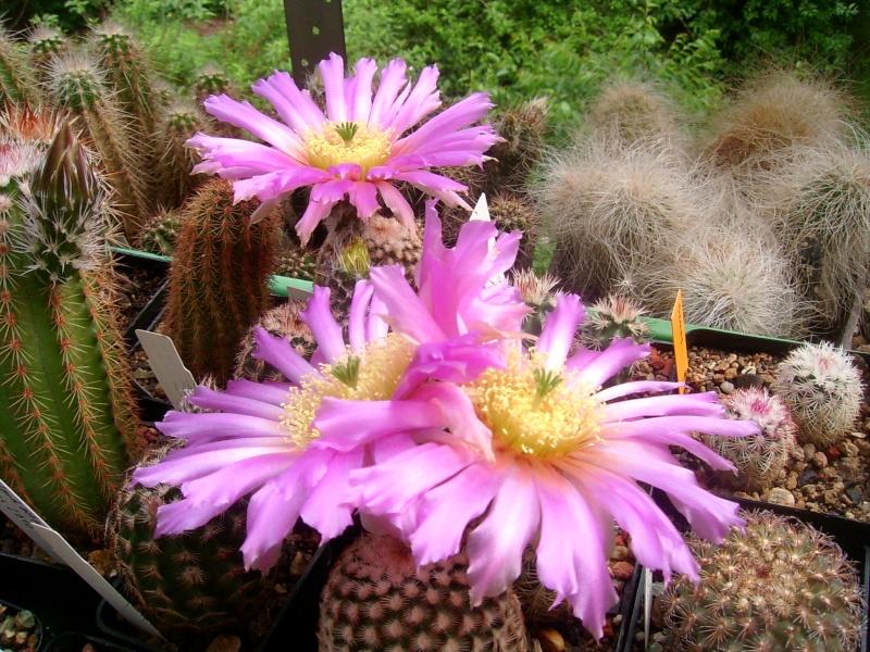 Achim`s Blütenbalkon - Seite 5 Pic_0123
