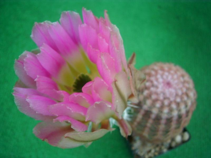 Achim`s Blütenbalkon - Seite 5 Pic_0126