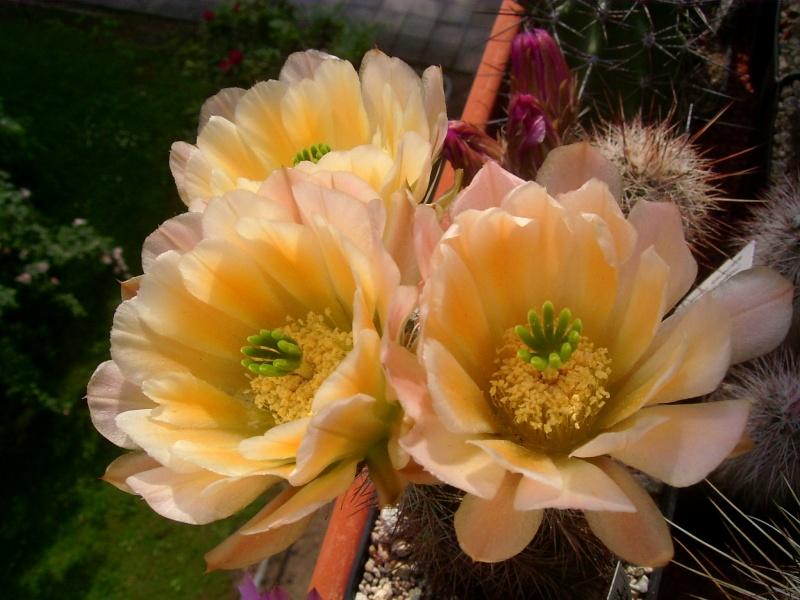 Achim`s Blütenbalkon - Seite 5 Pic_0127