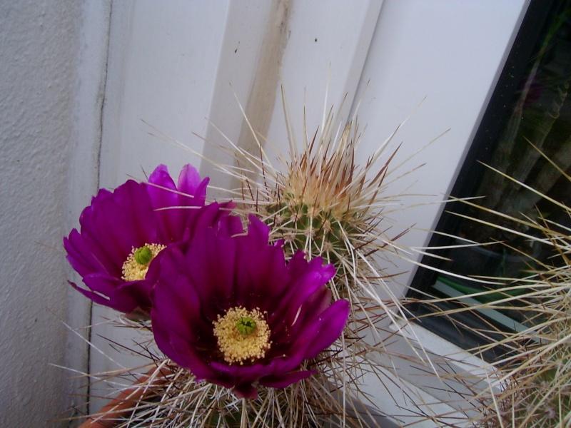 Achim`s Blütenbalkon - Seite 5 Pic_0130