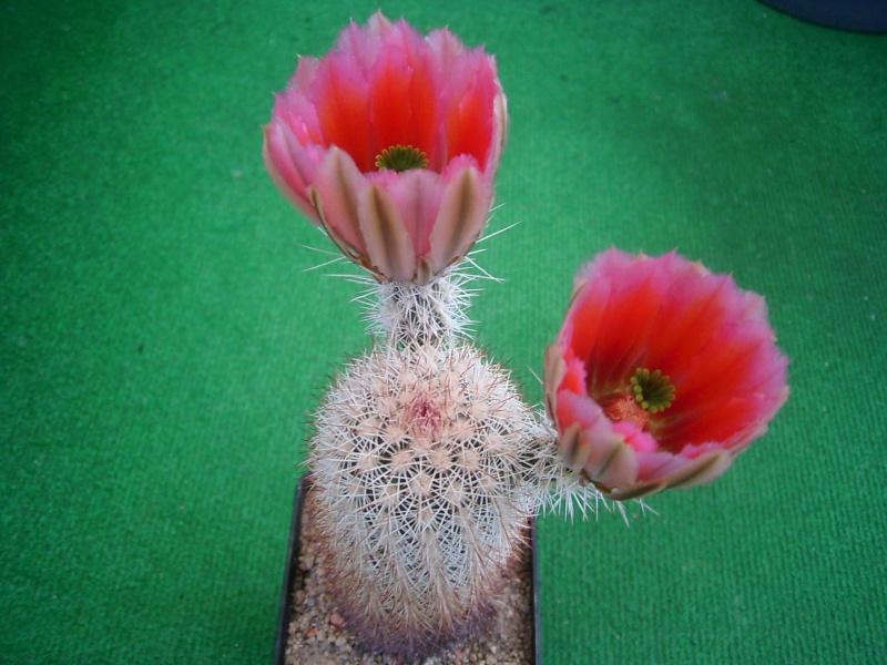 Achim`s Blütenbalkon - Seite 6 Pic_0132