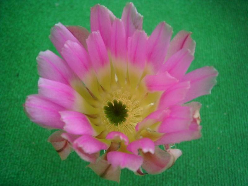 Achim`s Blütenbalkon - Seite 6 Pic_0134