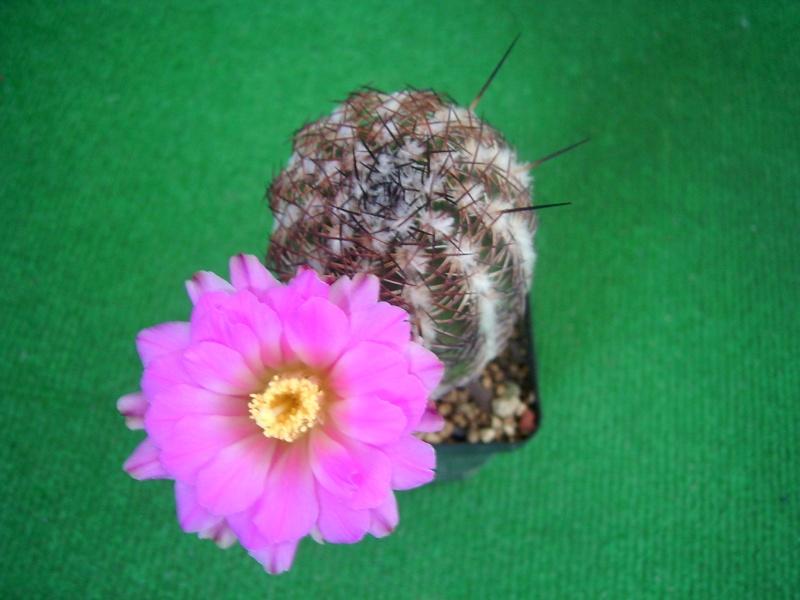 Achim`s Blütenbalkon - Seite 6 Pic_0135