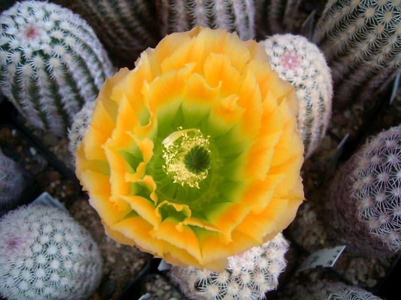 Achim`s Blütenbalkon - Seite 6 Pic_0136